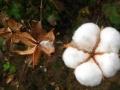发改委 财政部:完善棉花目标价格政策