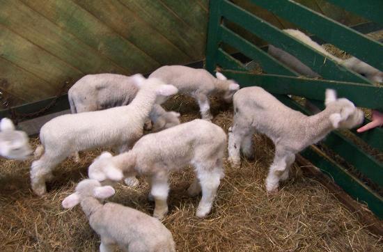 在羊圈中的可爱的小羊羔